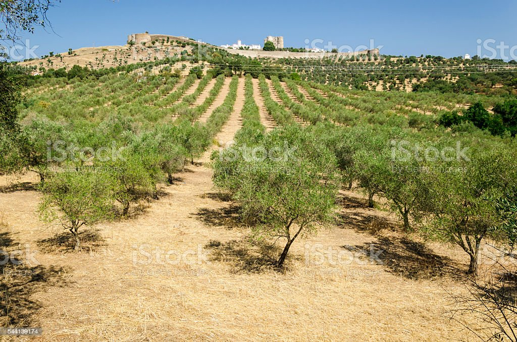 evoramonte and olive tree - foto de acervo