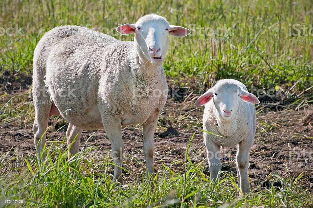 ewe and lamb royalty-free stock photo
