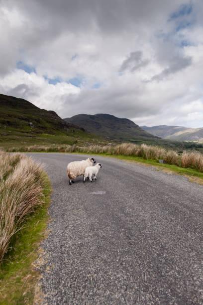 Ewe and Lambkin on Famine Road stock photo