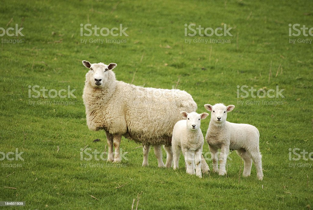 ewe and lambs stock photo