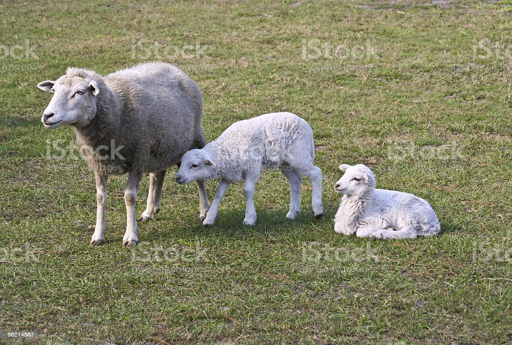 Ewe and Two Lambs royalty-free stock photo