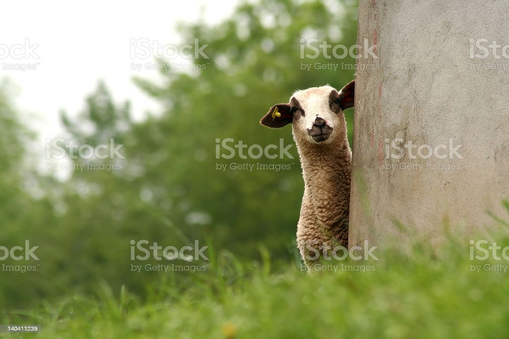 'Ewe', lamb in its refuge observing fixedly royalty-free stock photo