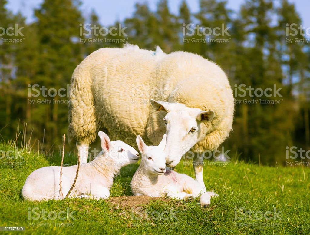 Ewe nurturing her lambs stock photo