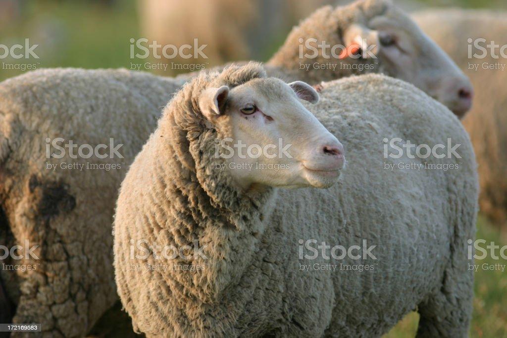 Ewe royalty-free stock photo