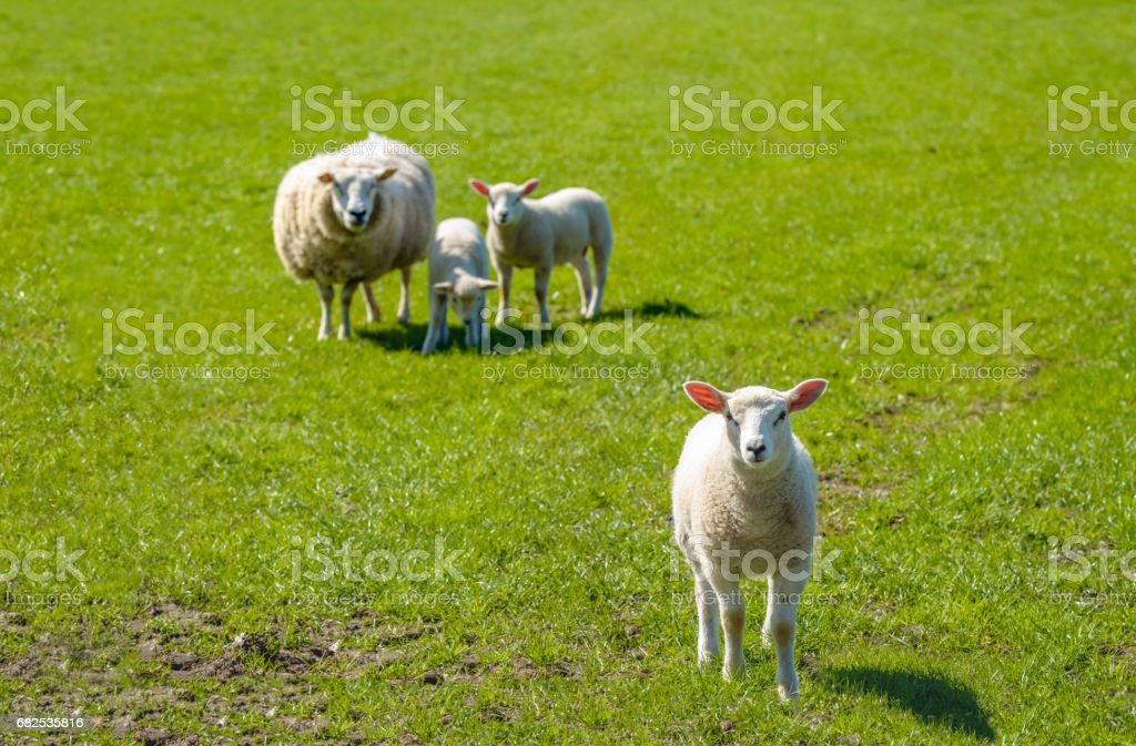 Ewe with her lambs posing in the meadow stock photo