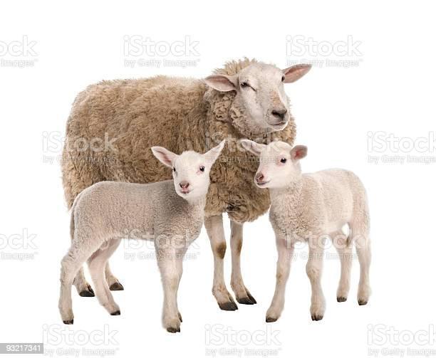 Ewe with her two lambs picture id93217341?b=1&k=6&m=93217341&s=612x612&h=i18jmeleyrkwb orufyhetqjsouoj1lswre4k5 qocm=
