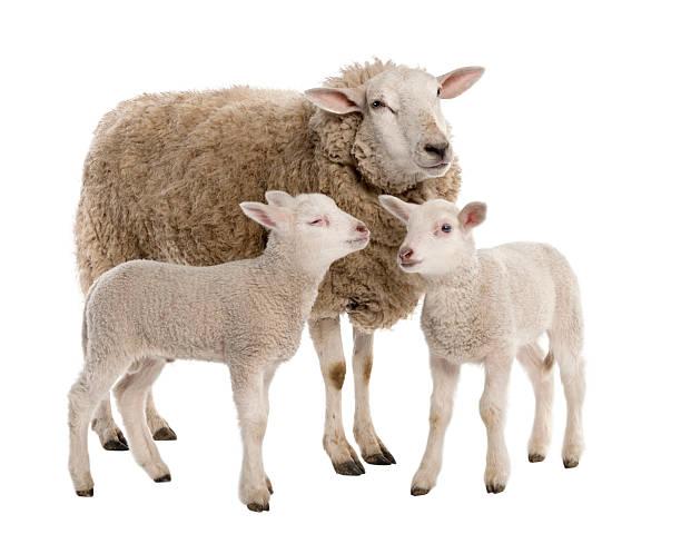 ewe with her two lambs - schaap stockfoto's en -beelden