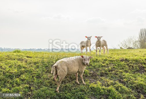 Backlit image of two little lambs looking curiously on top of the dike with the mother sheep on the slope. It is springtime in the Netherlands.