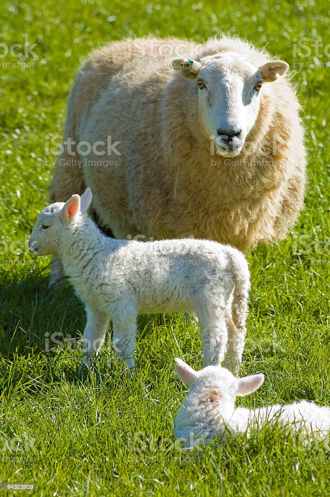 Ewe with new born lambs royalty-free stock photo