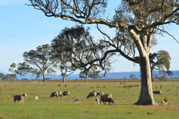 Ewes and lambs grazing in the winter sunshine in the Australian outback. stock photo