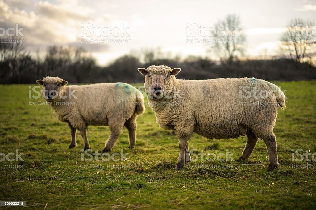 Ewes in Field stock photo
