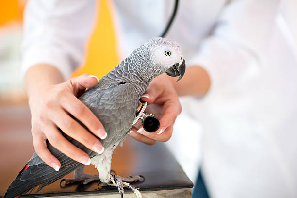 examination of sick parrot with stethoscope at vet clinic - djursjukhus bildbanksfoton och bilder