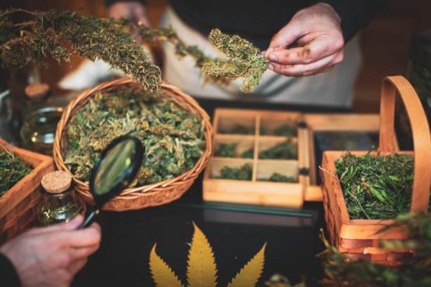 Untersuchung von trockenen Cannabisknospen – Foto