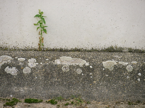 Example of the will to assert, a plant prevails in a stone artificial environment