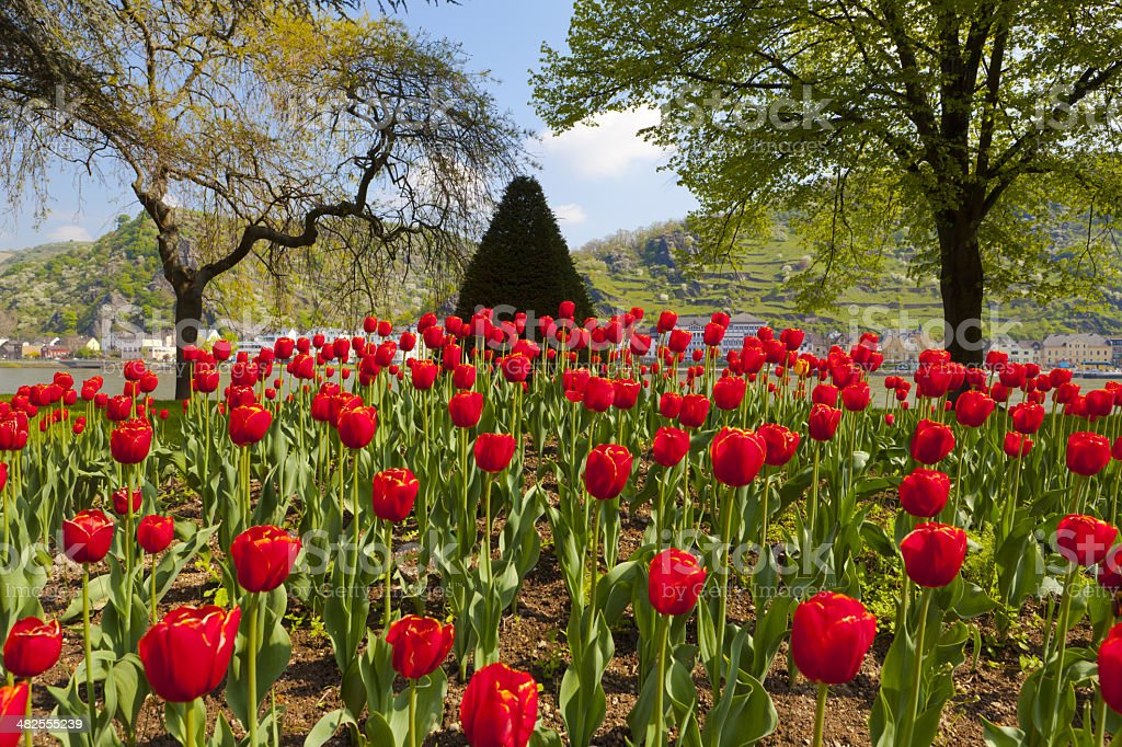 Exceptional view of a large red tulip bed stock photo