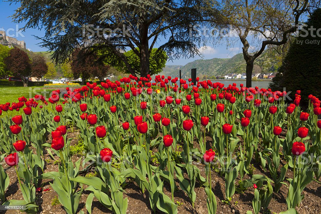 Exceptional view over a large red tulip bed stock photo