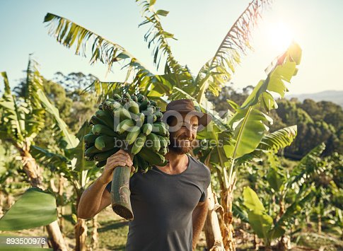 Shot of a man carrying a bunch of bananas on his farm