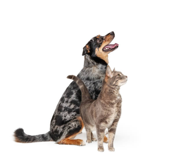 Excited Aussie Dog and Cat Together Looking Up stock photo