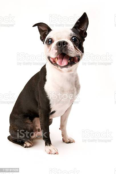Excited boston terrier dog on white background full body picture id119191539?b=1&k=6&m=119191539&s=612x612&h=91sv0om8rk  adbevspqhun5j5u6pao4wc bac5qxos=