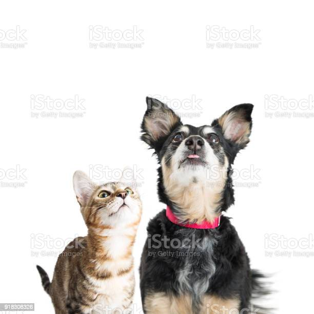 Excited dog and cat looking up picture id918308326?b=1&k=6&m=918308326&s=612x612&h=kv xip40yar8etzn9uzcdsl3grlg06s3yy50244bk5q=