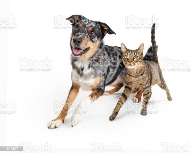 Excited dog and cat walking forward together picture id1152480711?b=1&k=6&m=1152480711&s=612x612&h=ol2edkeavnaigbx4w5qzy2pq8aukl21hgepfqrddqew=