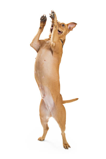 Excited large dog jumping up picture id641584134?b=1&k=6&m=641584134&s=612x612&w=0&h=uu0rhdeldqhidwkjkgd8v8yi 7my1ed8ajkj33bjrxm=