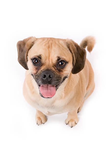 Excited puggle puppy dog panting on white picture id171288350?b=1&k=6&m=171288350&s=612x612&w=0&h=v9ns2j9zplbljud3etzoyhtyvtmddeyv4l5rggprcq4=