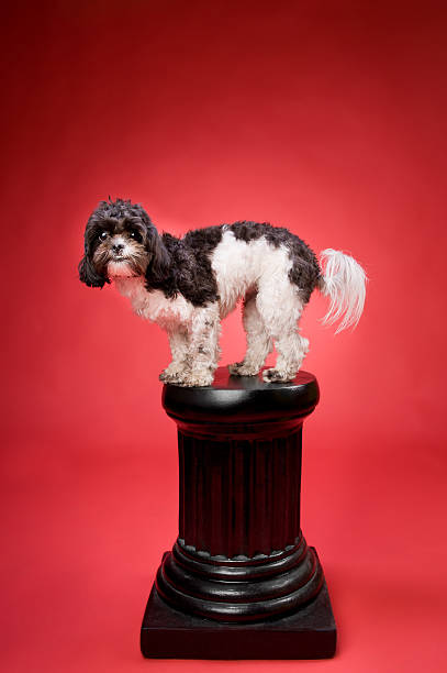 Excited Shih Tzu Poodle Dog on a Pedestal stock photo