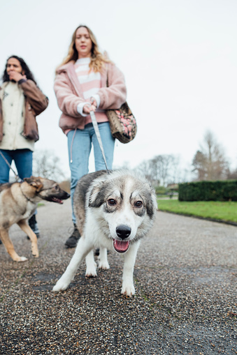Low angle view of a couple walking their adopted mixed breed dogs in the North East of England through a pubic park. They are on a daily walk during lockdown. The dogs are excited and pulling on their leads.