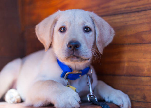 Excited yellow labrador retriever puppy in front of wood paneling stock photo