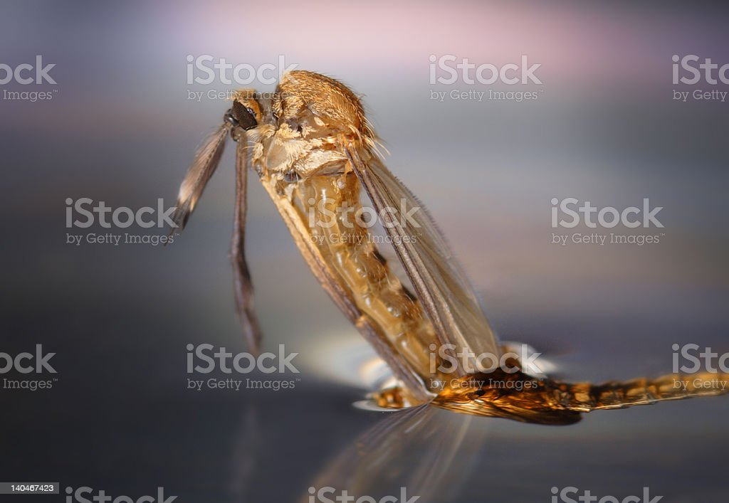 exclusion of mosquito royalty-free stock photo