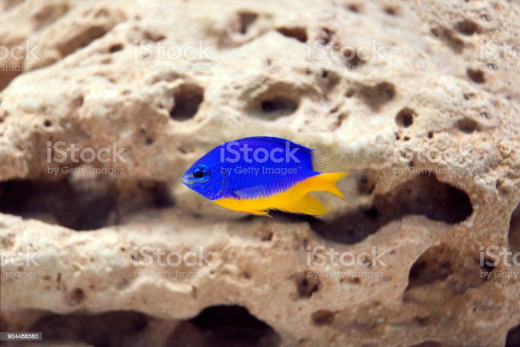 Exclusive marine fish in aquarium - Chrysiptera parasema stock photo