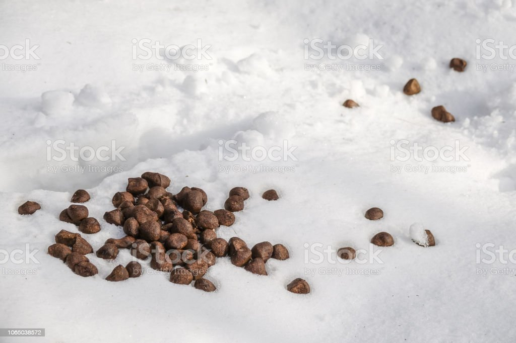 Excrement / feces in the snow from an elk / moose. stock photo