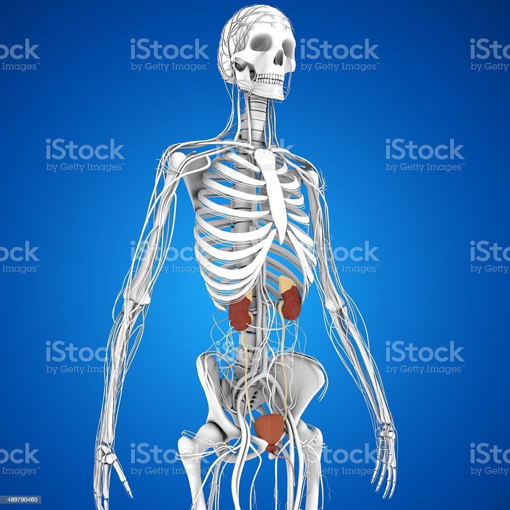 Excretory System Stock Photo More Pictures Of 2015 Istock