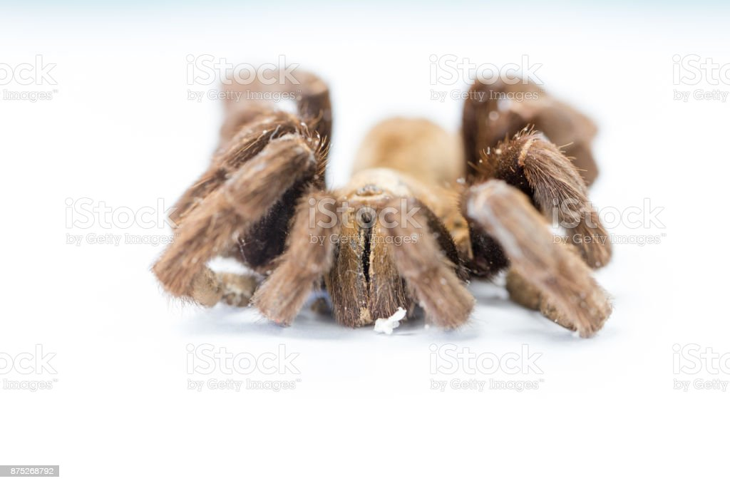 Exemplar of Haplopelma minax, Cyriopagopus is a genus of spiders in the family Theraphosidae (tarantulas) for education. stock photo