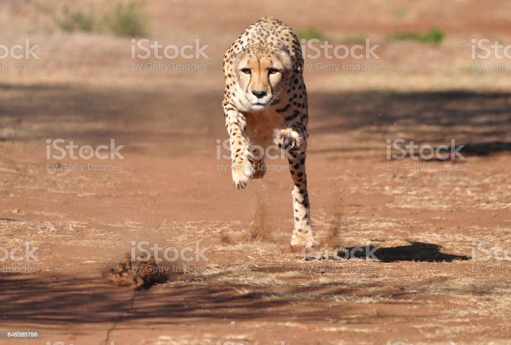 Ejercicio de un guepardo con un señuelo, escogiendo encima de la velocidad - foto de stock