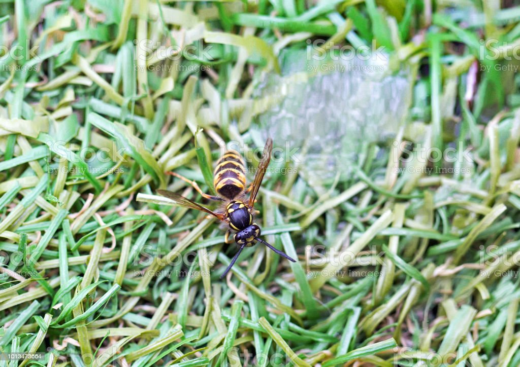 An exhausted Honey Bee resting on green grass with some sugared water...