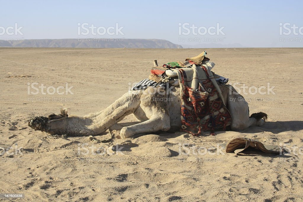 exhausted camel, recreation needs royalty-free stock photo