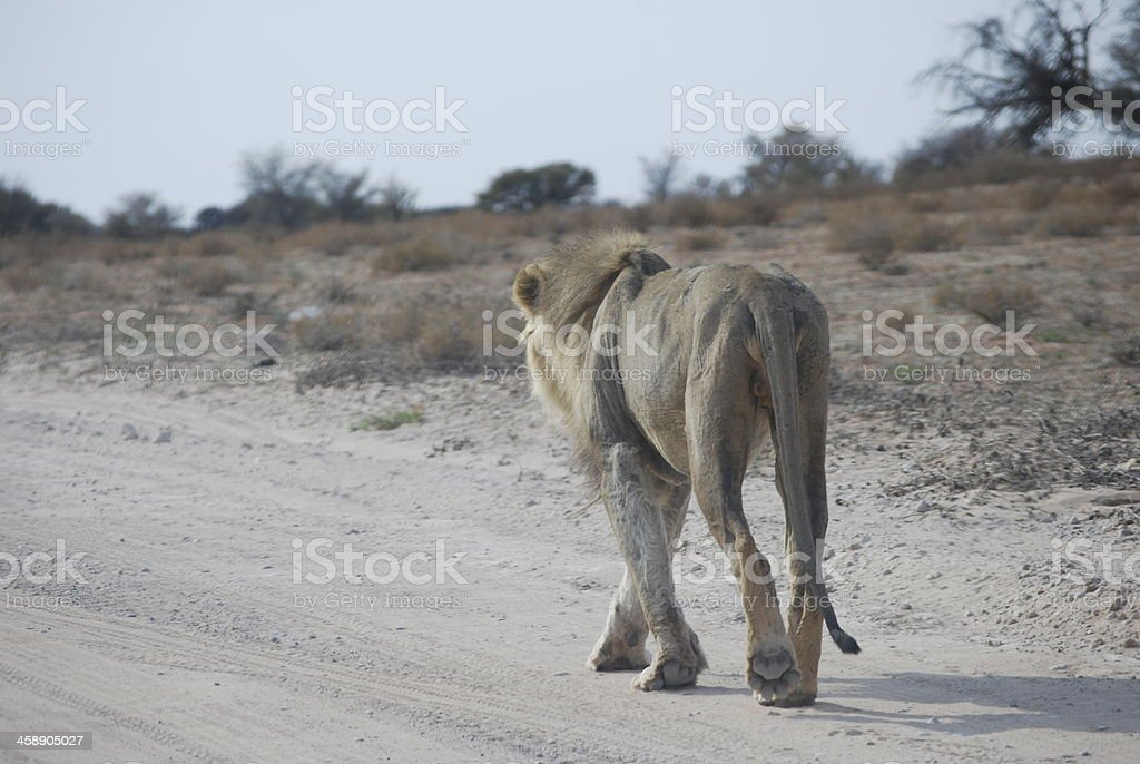 Exhausted Male Lion stock photo