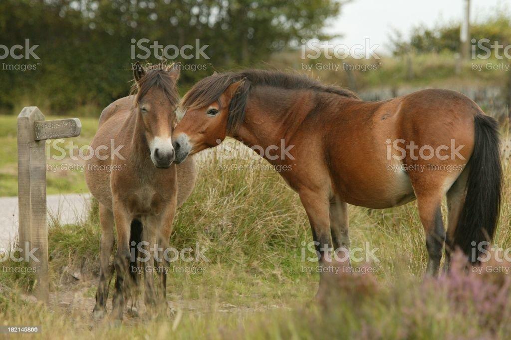 Exmooor ponies royalty-free stock photo