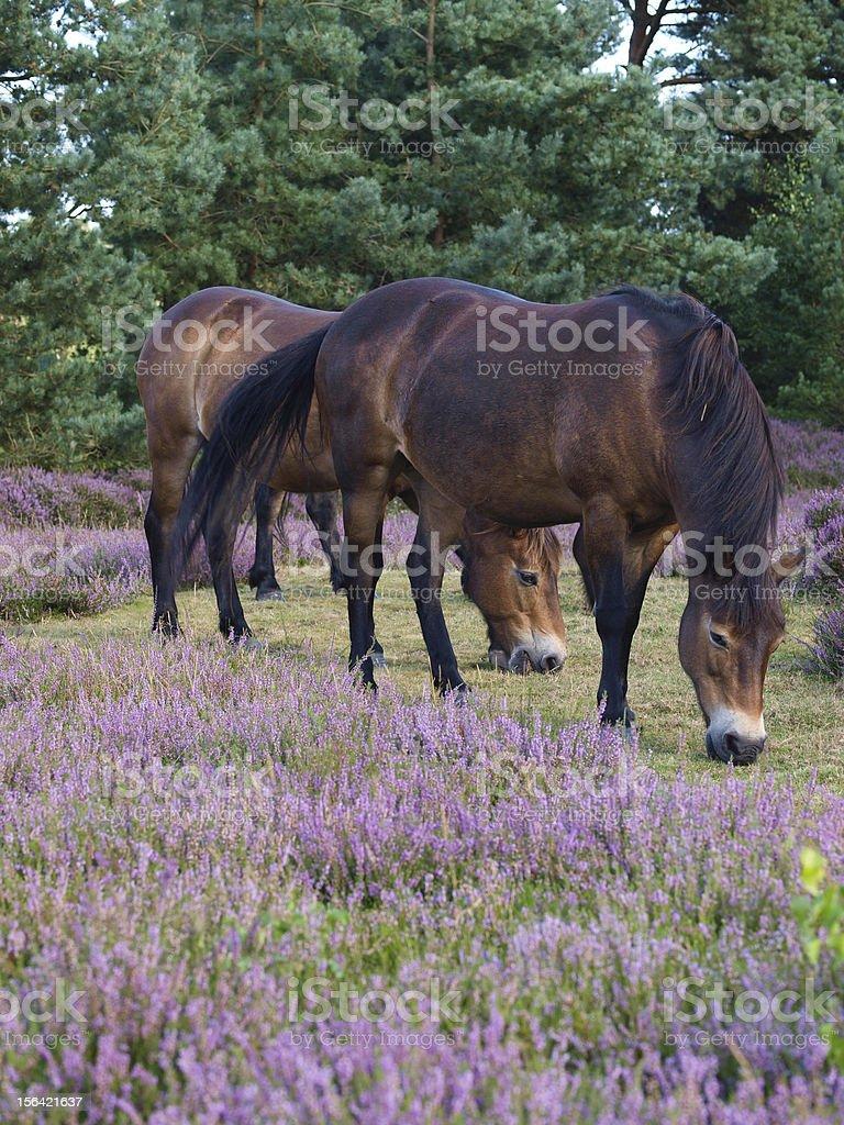 Exmoor Ony Grazing royalty-free stock photo