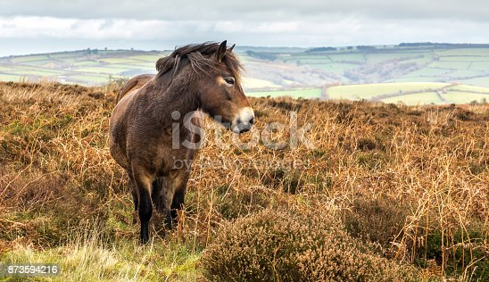 The Exmoor Pony is a horse breed native to the British Isles, on Exmoor, England.