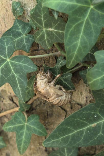 exoesqueleto de cicadidae unido a una hoja - foto de stock
