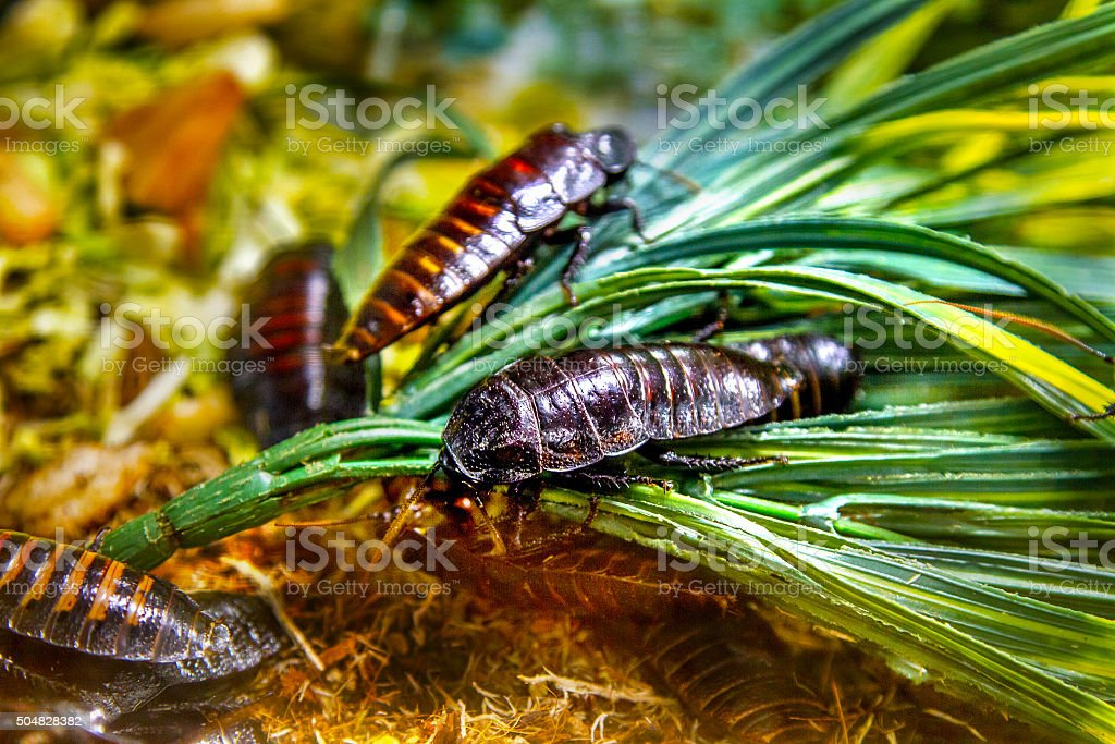 the image of an exotic animal insect cockroach Madagascar