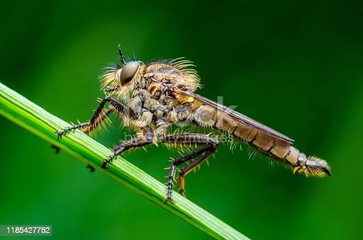 Exotic Assassin or Robber Fly Asilidae Diptera Insect Macro Photo