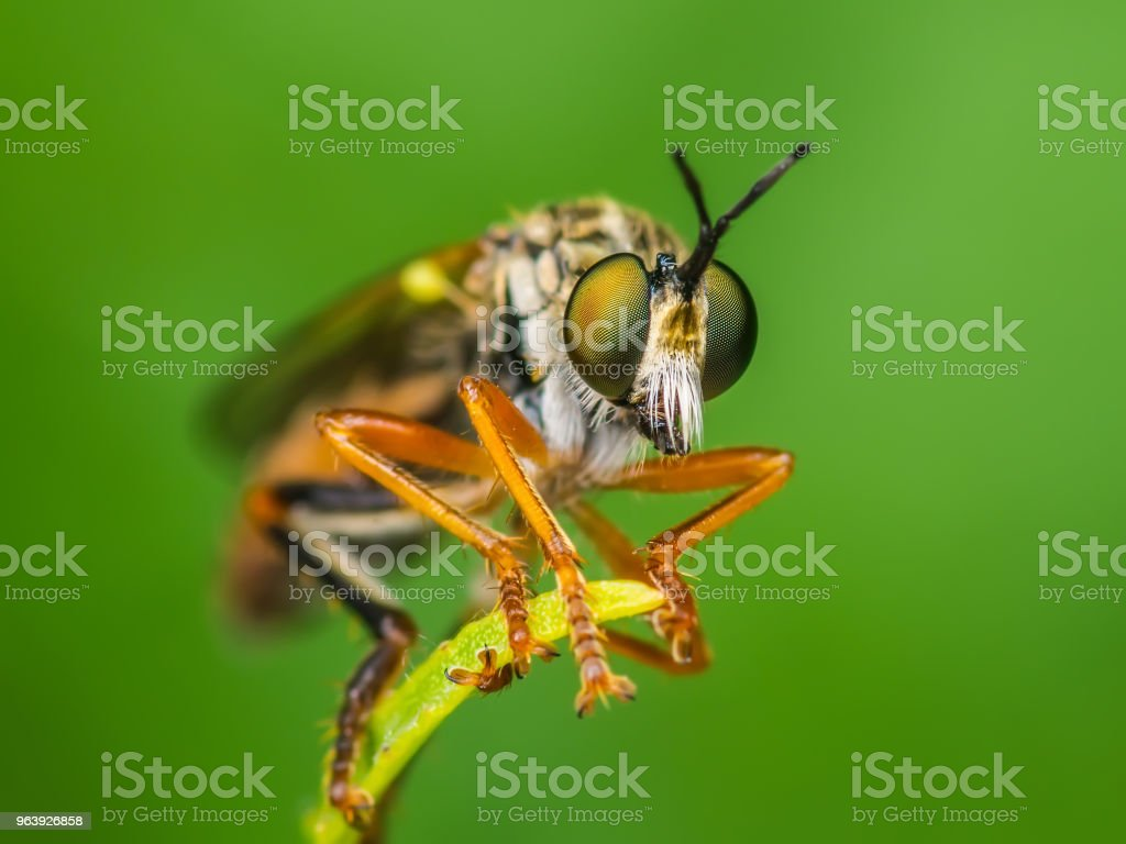 Exotic Assassin or Robber Fly Asilidae Diptera Insect on Green Grass - Royalty-free Animal Stock Photo