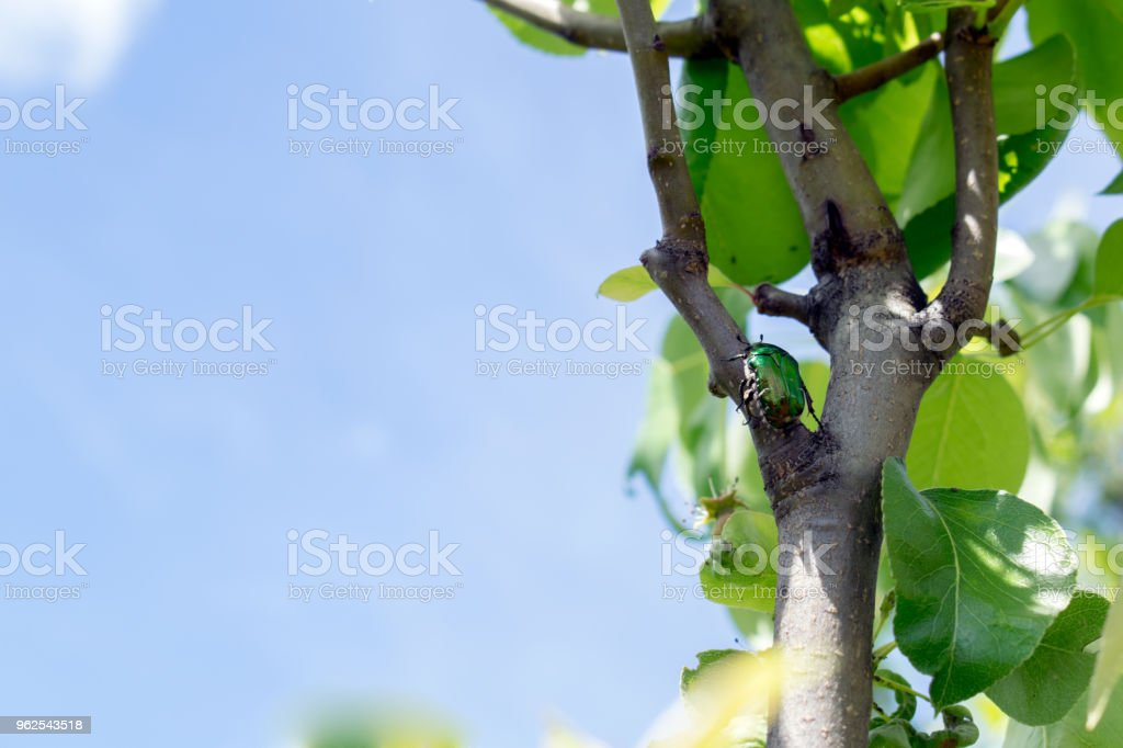 Exotic beetle bronzovka wild insect on the branch - Royalty-free Animal Stock Photo