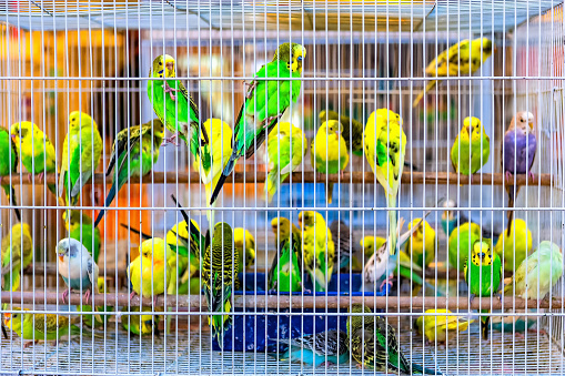 Exotic Birds In Cage For Sale In Asian Street Market Stock