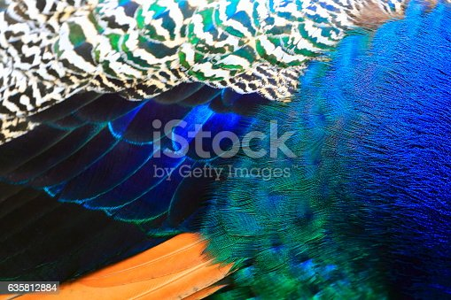 istock Exotic Blue, green and striped Background Texture, Peacock Bird's Feather 635812884