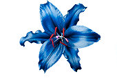 Fresh tropical blue lily flower head isolated on white background. Colored image.